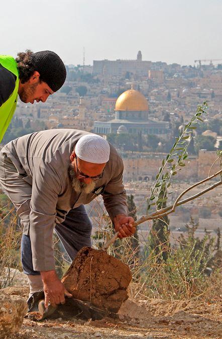 Planta Olivos en Palestina (Fondo)