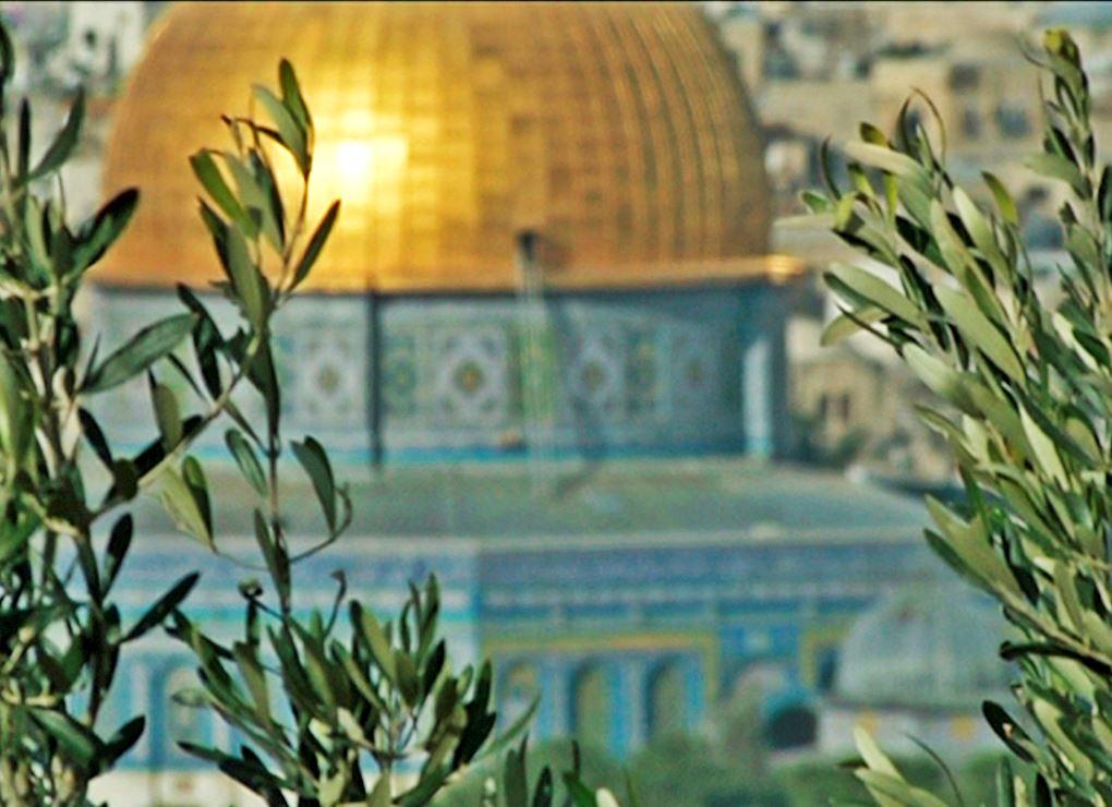 Planta olivos en Palestina